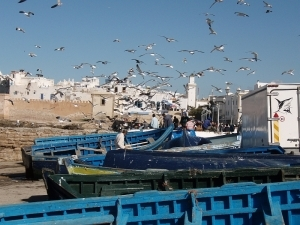 The Gulls of Essaouira